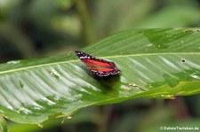 Anartia amathea auf dem Gebiet der Sacha Lodge, nahe des Rio Napo in Ecuador