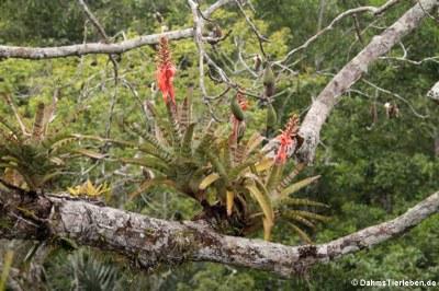 Bromelien auf einem Kapokbaum in 43 Meter Höhe