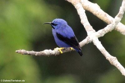 Purpurnaschvogel (Cyanerpes caeruleus)