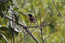 Rohrspottdrossel (Donacobius atricapilla) auf dem Gebiet der Sacha Lodge, nahe des Rio Napo in Ecuador
