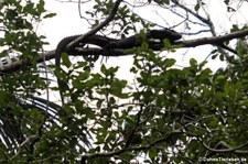 Krokodilteju (Dracaena guianensis) auf dem Gebiet der Sacha Lodge, nahe des Rio Napo in Ecuador