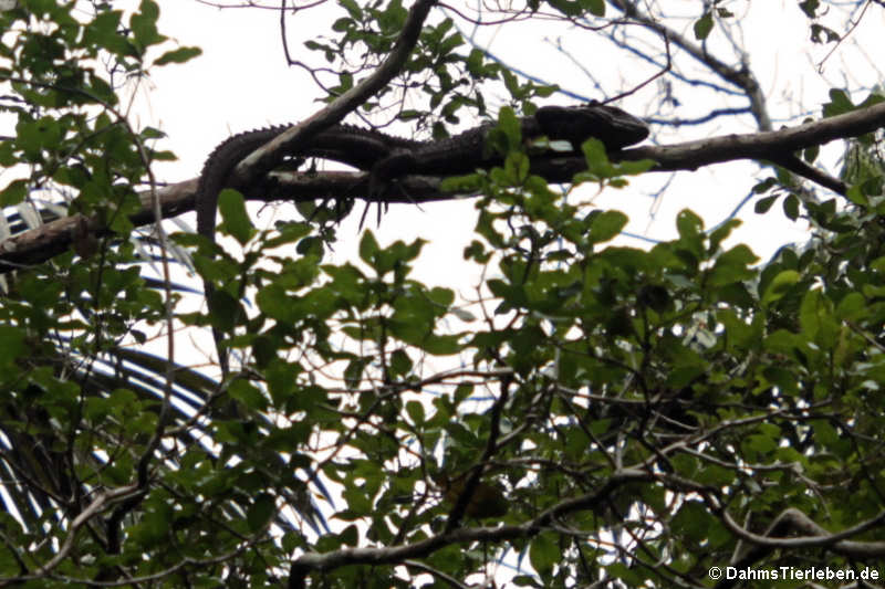 Dracaena guianensis
