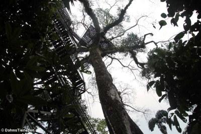 Blick hinauf zur Aussichtsplattform im Kapokbaum