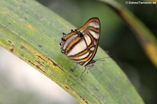 Metamorpha elissa auf dem Gebiet der Sacha Lodge, nahe des Rio Napo in Ecuador