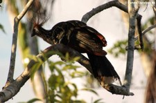 Hoatzin (Opisthocomus hoazin) auf dem Gebiet der Sacha Lodge, nahe des Rio Napo in Ecuador