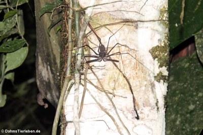 Geißelspinne (Paraphrynus emaciatus)