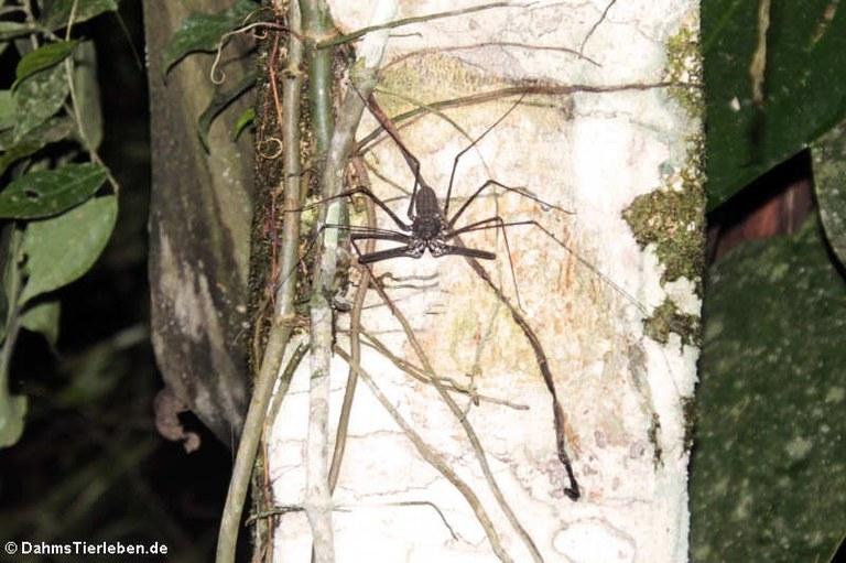 Paraphrynus emaciatus