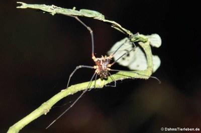 Phareicranaus singularis