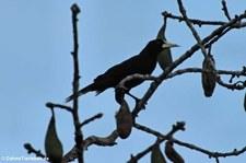 Krähenstirnvogel (Psarocolius decumanus decumanus) auf dem Gebiet der Sacha Lodge, nahe des Rio Napo in Ecuador