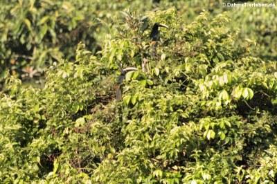Doppelbindenarassaris (Pteroglossus pluricinctus) in den Baumwipfeln