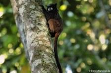 Schwarzrückentamarin (Leontocebus nigricollis) auf dem Gebiet der Sacha Lodge, nahe des Rio Napo in Ecuador