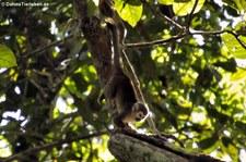Gewöhnlicher Totenkopfaffe (Saimiri sciureus) auf dem Gebiet der Sacha Lodge, nahe des Rio Napo in Ecuador
