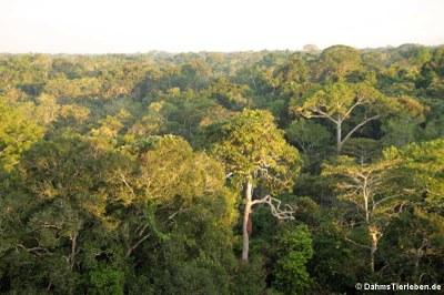 Blick über die Baumwipfel des Yasuní Nationalparks
