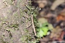 Unbekannte Stabschrecke auf dem Gebiet der Sacha Lodge im Yasuní Nationalpark, nahe des Rio Napo in Ecuador
