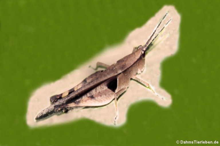 Xiphiola cyanoptera