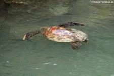 Grüne Meeresschildkröte (Chelonia mydas), Santa Cruz, Galápagos, Ecuador