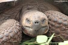 Santa-Cruz-Riesenschildkröte (Chelonoidis porteri) auf Santa Cruz, Galápagos, Ecuador