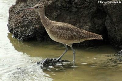 Regenbrachvogel (Numenius phaeopus) auf Santa Cruz