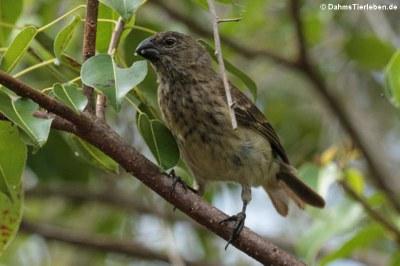 Dickschnabel-Darwinfink (Platyspiza crassirostris) von der Galápagis-Insel Santa Cru