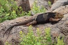 Drusenkopf (Conolophus subcristatus) auf Seymour Norte, Galápagos, Ecuador