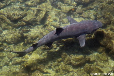 Weißspitzen-Riffhai (Triaenodon obesus) auf Islote Tintoreras