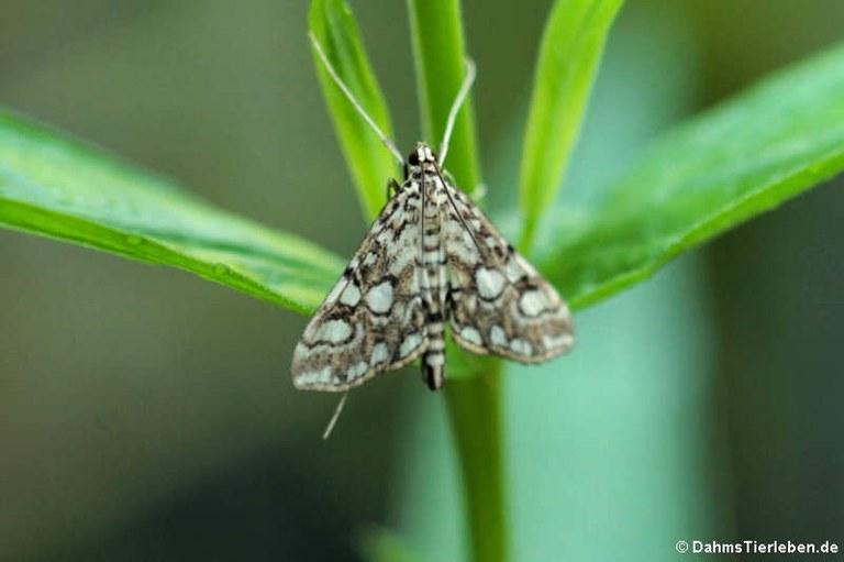 Elophila nymphaeata nymphaeata