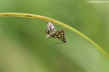 Seerosenzünsler oder Laichkraut-Zünsler (Elophila nymphaeata nymphaeata) in Finkens Garten, Köln-Rodenkirchen