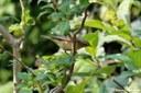 Phylloscopus collybita