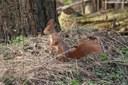 Sciurus vulgaris fuscoater