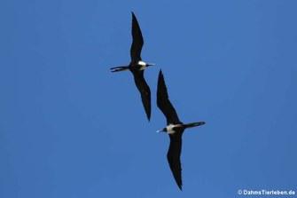 Prachtfregattvögel (Fregata magnificens)