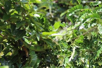 Grüner Leguan auf Grenada