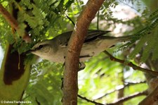 Tropen-Spottdrossel (Mimus gilvus antillarum) auf Grenada