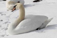 Höckerschwan (Cygnus olor) im Schnee