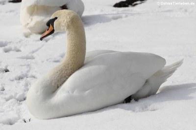 Höckerschwan im Schnee