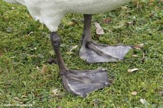 Die Füße eines Höckerschwans