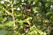 Waldohreule (Asio otus otus) im Naturschutzgebiet Kiesgrube Meschenich