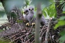 Junge Mäusebussarde (Buteo buteo buteo) in einem Horst im Naturschutzgebiet Kiesgrube Meschenich