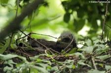 Junger Mäusebussard (Buteo buteo buteo) in einem Horst im Naturschutzgebiet Kiesgrube Meschenich