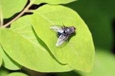 Blaue Schmeißflige (Calliphora vomitoria) im Naturschutzgebiet Kiesgrube Meschenich