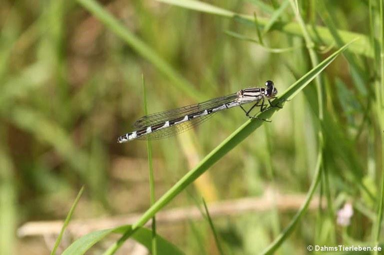 Coenagrion puella (weiblich)
