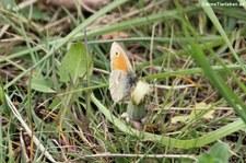 Kleines Wiesenvögelchen (Coenonympha pamphilus) im Naturschutzgebiet Kiesgrube Meschenich
