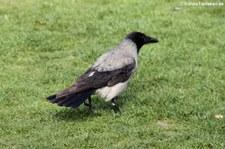 Nebelkrähe (Corvus cornix cornix) im Köln