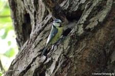 Eine Blaumeise (Cyanistes caeruleus caeruleus) bringt Futter zu den Jungvögeln. Aufgenommen im Naturschutzgebiet Kiesgrube Meschenich.