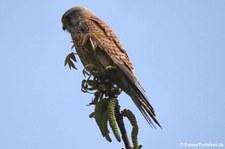 Turmfalke (Falco tinnunculus tinnunculus) in Köln-Godorf