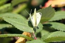 Kleiner Kohlweissling (Pieris rapae) im Naturschutzgebiet Kiesgrube Meschenich