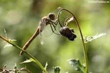 weibliche Große Heidelibelle (Sympetrum striolatum) aus dem Naturschutzgebiet Kiesgrube Meschenich