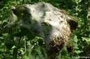 Yponomeuta evonymella