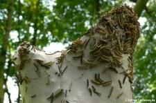 Raupen der Traubenkirschen-Gespinstmotte (Yponomeuta evonymella) in Köln-Höningen