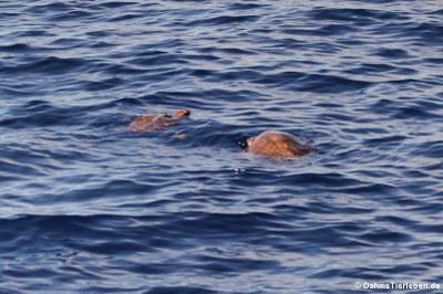Unechte Karettschildkröten (Caretta caretta)
