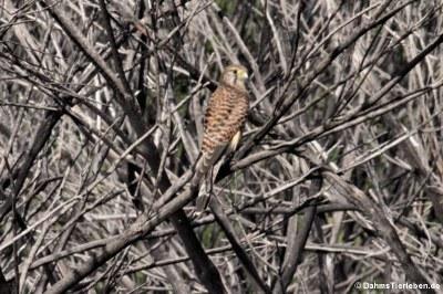 Turmfalke (Falco tinnunculus canariensis)